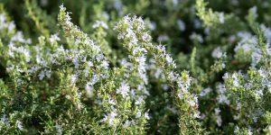 7 μυστικά για την καλλιέργεια του δεντρολίβανου