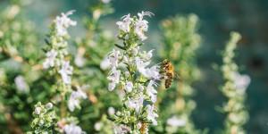 Το δεντρολίβανο προσελκύει μέλισσες στον κήπο μας