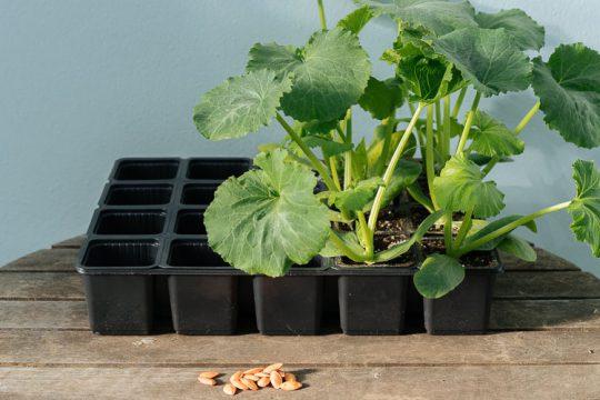 Προτιμάμε φυτά από σπόρο ή έτοιμα φυτά από φυτώριο;