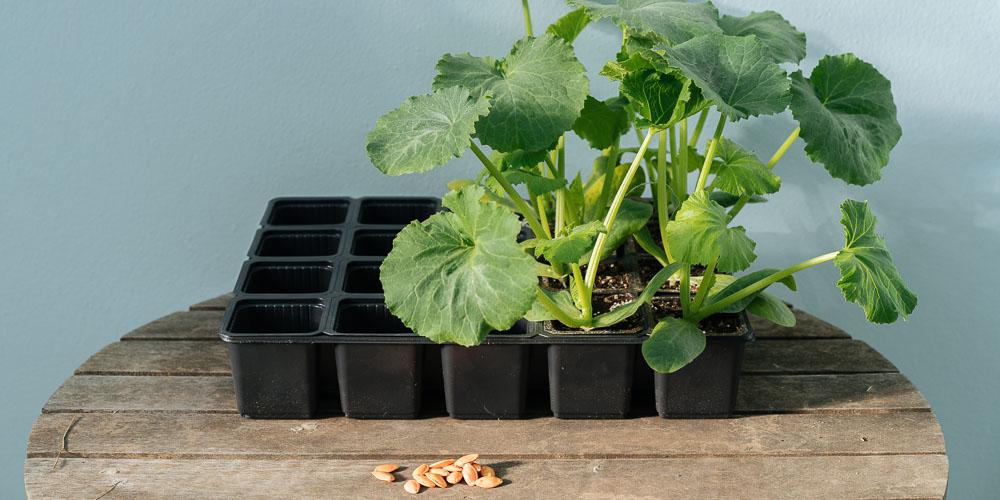 Έτοιμα φυτά ή σπόροι