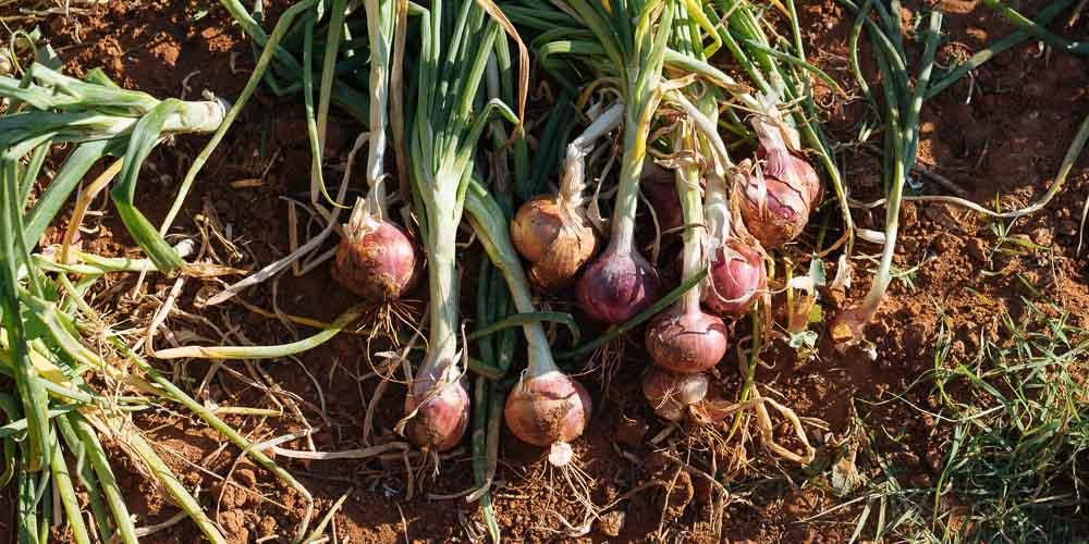 8 μυστικά για φύτευση και καλλιέργεια κρεμμυδιού