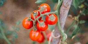 9 μυστικά για την καλλιέργεια της ντομάτας