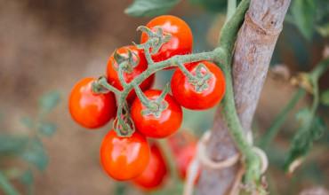 7 μυστικά για την καλλιέργεια της ντομάτας