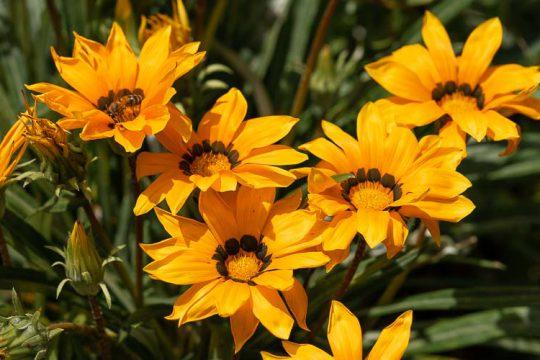 Γκαζάνια, ένα φυτό με μεγάλα λουλούδια που θυμίζουν μαργαρίτες