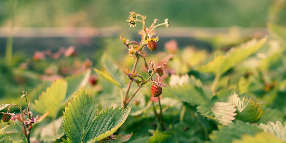 Καλλιέργεια φράουλας