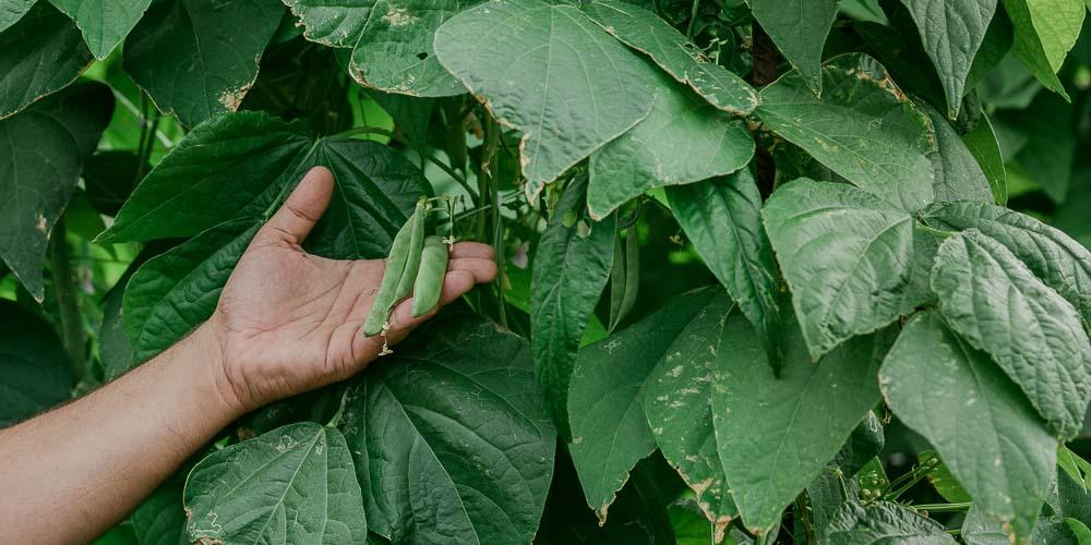 8 μυστικά για την καλλιέργεια του φασολιού