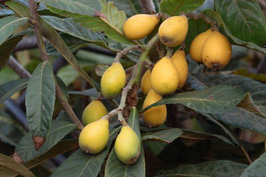 7 μυστικά για την καλλιέργεια της μουσμουλιάς