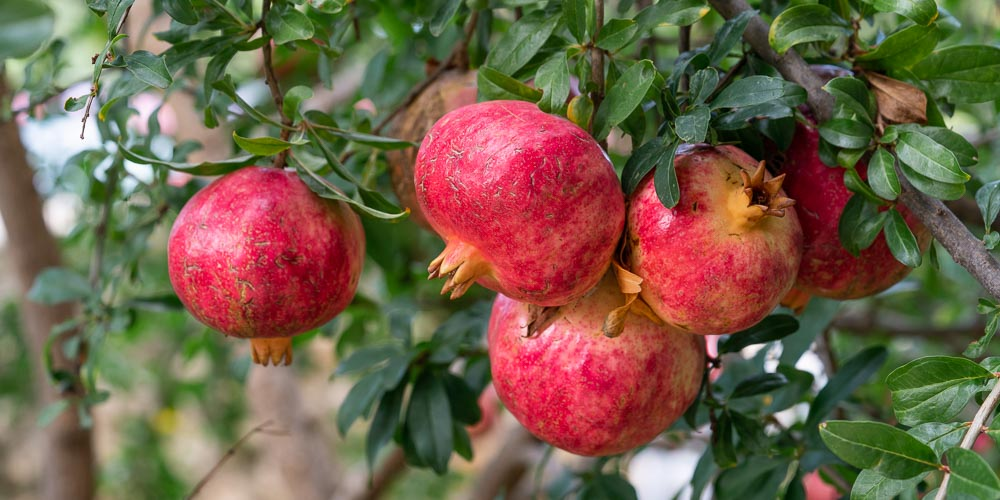 8 μυστικά για την καλλιέργεια της ροδιάς
