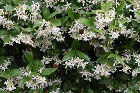 Ρυγχόσπερμο, ένα ανθεκτικό αναρριχώμενο φυτό