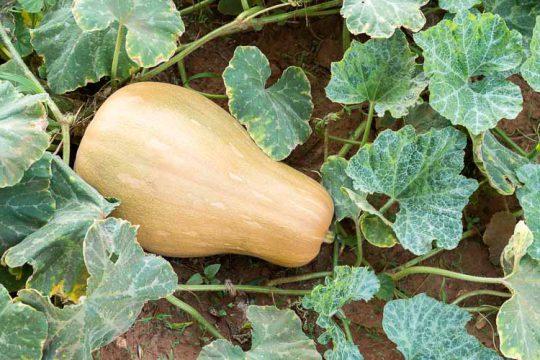 5 μυστικά για καλλιέργεια γλυκοκολοκύθας