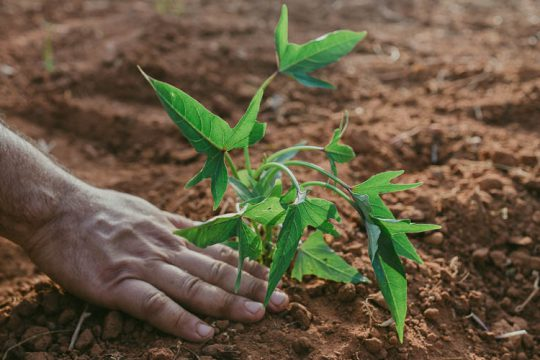 7 μυστικά για φύτευση και καλλιέργεια γλυκοπατάτας