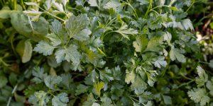 7 μυστικά για καλλιέργεια και φύτευση μαϊντανού
