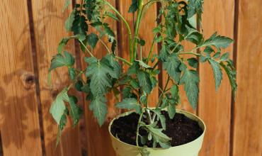 Ντομάτα: Φύτευση και καλλιέργεια σε γλάστρα
