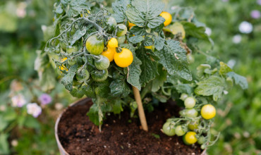 Συμβουλές για να καλλιεργήσουμε ντοματίνια σε γλάστρα