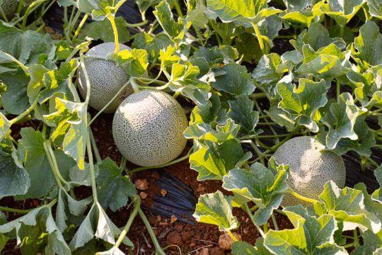 9 μυστικά για φύτευση και καλλιέργεια πεπονιού