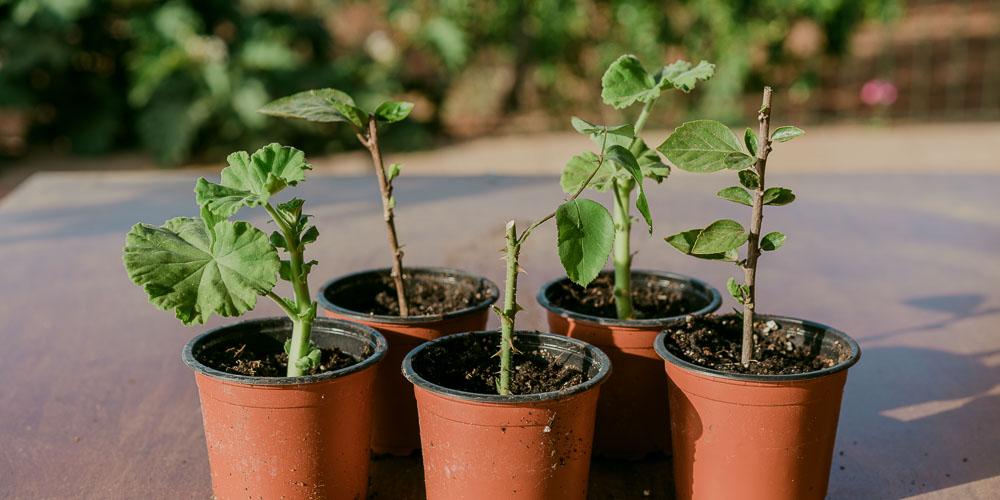 Πώς γίνεται ο πολλαπλασιασμός φυτών με μοσχεύματα