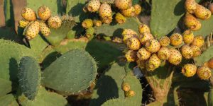 6 μυστικά για καλλιέργεια φραγκοσυκιάς