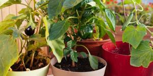 Καλλιέργεια λαχανικών σε γλάστρα