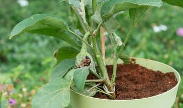 Φύτευση και καλλιέργεια μελιτζάνας σε γλάστρα
