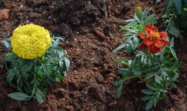 Κατιφές, ένα όμορφο λουλούδι για προστασία λαχανικών