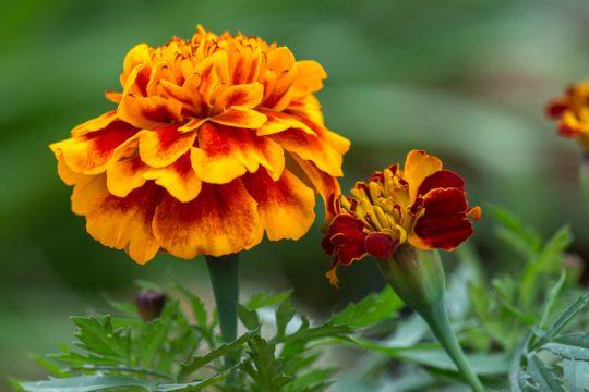 Κατιφές, ένα ανθεκτικό λουλούδι που προστατεύει τα λαχανικά