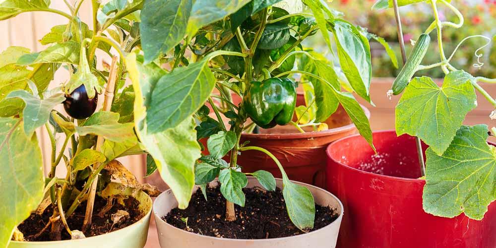 Λαχανικά σε γλάστρα, συμβουλές για φύτευση και καλλιέργεια