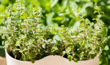 Ματζουράνα, καλλιέργεια σε γλάστρα
