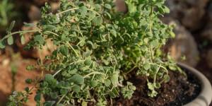 Ματζουράνα: Καλλιέργεια σε γλάστρα