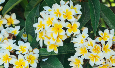 Πλουμέρια, το ινδικό φούλι με τα υπέροχα λουλούδια