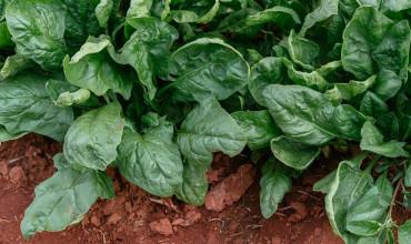 6 μυστικά για φύτευση και καλλιέργεια σπανακιού