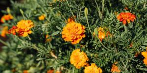 Κατιφές, ένα ανθεκτικό λουλούδι που προσελκύει πεταλούδες