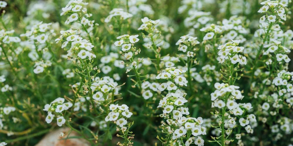 Άλυσσο, ένα λουλούδι με άρωμα μελιού