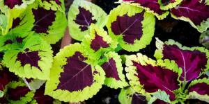 Το χρώμα στα φύλλα του κολεού διαφέρει ανάλογα με το πόσο φως δέχεται