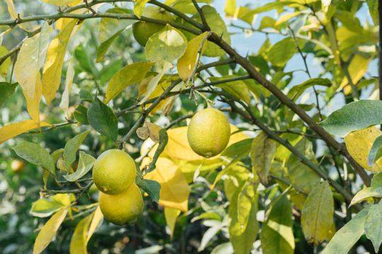 6 μυστικά για φροντίδα λεμονιάς σε γλάστρα