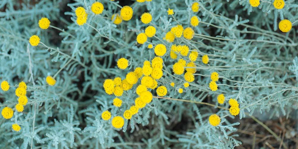 Λεβαντίνη, ένα αρωματικό φυτό για εδαφοκάλυψη