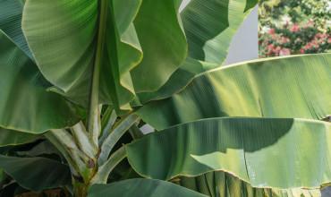 Φύτευση και φροντίδα μπανανιάς