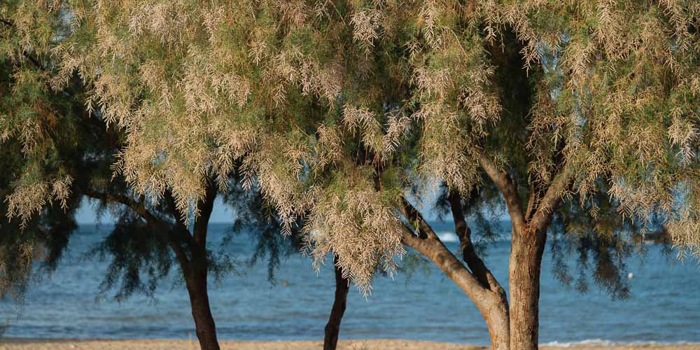 Αλμυρίκι, δέντρο για παραθαλάσσιες περιοχές