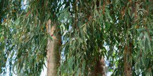 Ευκάλυπτος, ανθεκτικό δέντρο για όλα τα εδάφη