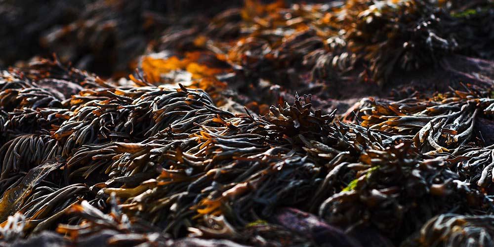 Φύκια, φυσικό λίπασμα για φυτά