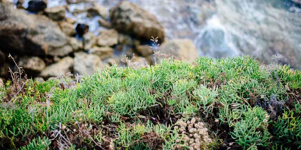 Κρίταμο, παραθαλάσσιο βότανο