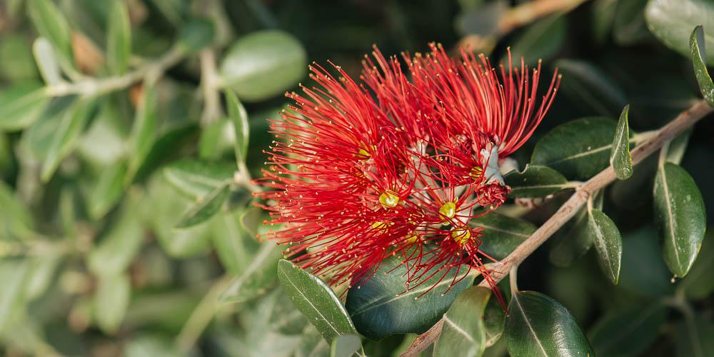 Μετροσίδηρος, θάμνος με κόκκινα λουλούδια