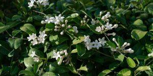 Στεφανωτή, αναρριχώμενο φυτό με αρωματικά άνθη