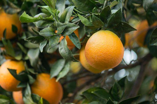 Πορτοκαλιά σε γλάστρα