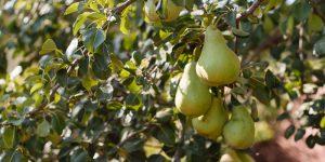 5 μυστικά για καλλιέργεια αχλαδιάς