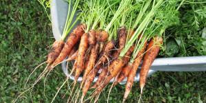 7 μυστικά για φύτευση και καλλιέργεια καρότου