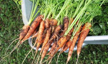 5 μυστικά για καλλιέργεια καρότου