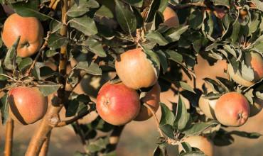 5 μυστικά για καλλιέργεια μηλιάς