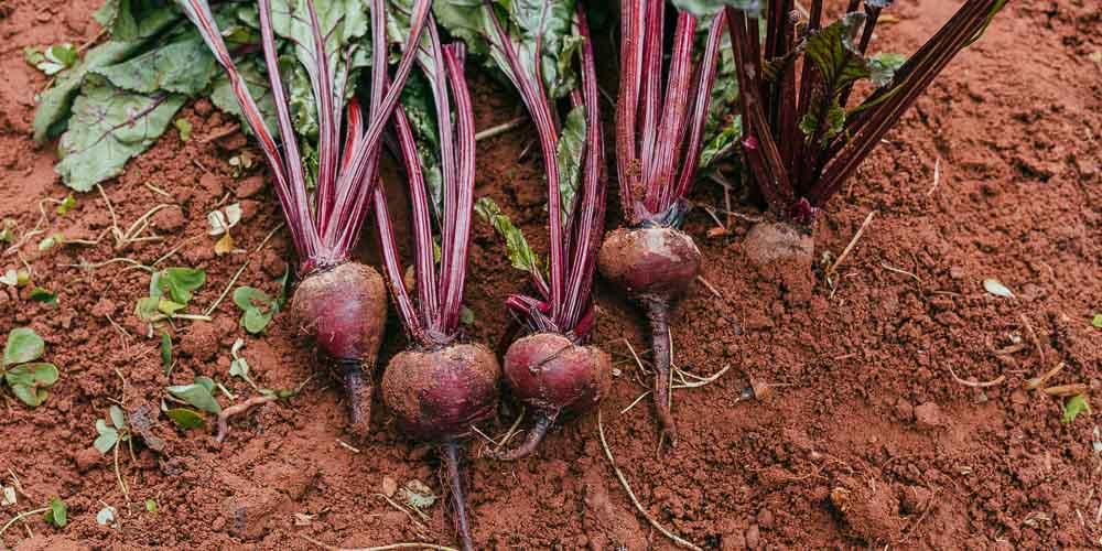 6 μυστικά για καλλιέργεια παντζαριού