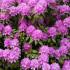 Ροδόδεντρο, λουλούδι από τα Ιμαλάια