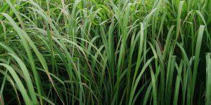 Σιτρονέλα, ένα εντομοαπωθητικό φυτό